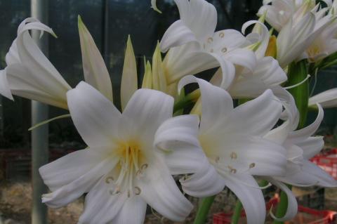 Catalogue de vente en ligne bulbes fleurs pour les for Arrosage amaryllis floraison