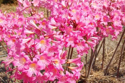 Catalogue de vente en ligne bulbes fleurs pour les for Amaryllis belladonna vente